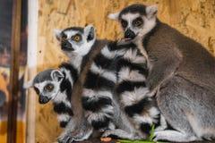 Mirada de tres lémures en el marco Foto de archivo libre de regalías