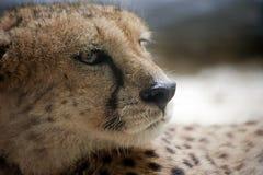 Mirada de un guepardo Fotos de archivo libres de regalías
