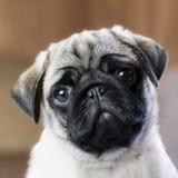 mirada de un perrito del barro amasado imágenes de archivo libres de regalías