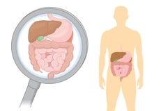 Mirada del órgano interno sobre la digestión del ser humano con la lupa ilustración del vector