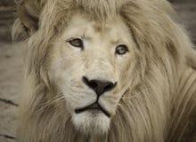 Mirada del albino del león Imágenes de archivo libres de regalías