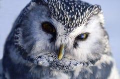 Mirada del buho Imagen de archivo libre de regalías