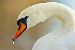 Mirada del cisne Imagenes de archivo