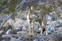Mirada del coyote Foto de archivo