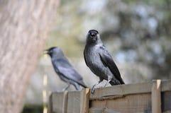 Mirada del cuervo Imagen de archivo libre de regalías