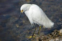 Mirada del Egret nevado Fotografía de archivo