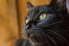 Mirada del gato negro Imagen de archivo