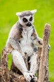 Mirada del lémur Foto de archivo