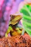 Mirada del lagarto Fotos de archivo libres de regalías