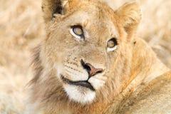 Mirada del león Foto de archivo libre de regalías