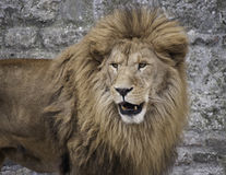 Mirada del león Imagen de archivo