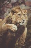 Mirada del león Fotos de archivo