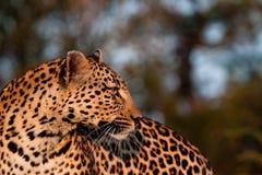 Mirada del leopardo detrás Imagenes de archivo