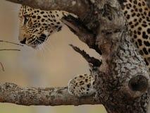 Mirada del leopardo en un árbol imagenes de archivo