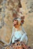 Mirada del mono. Imagenes de archivo