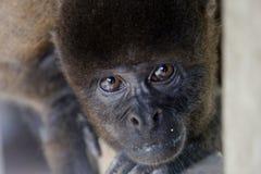 Mirada del mono lanoso Foto de archivo libre de regalías