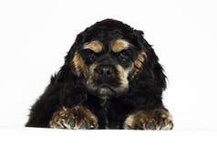 Mirada del perrito de cocker spaniel del americano imágenes de archivo libres de regalías