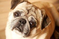 mirada del perro   fotografía de archivo