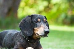 Mirada del perro basset Fotos de archivo