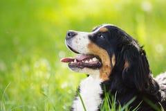 Mirada del perro de montaña de Bernese del bozal Fotografía de archivo libre de regalías
