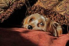 Mirada del perro de Yorkie Fotos de archivo libres de regalías