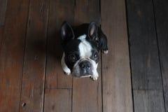 Mirada del perro del terrier de Boston en la cámara Foto de archivo libre de regalías