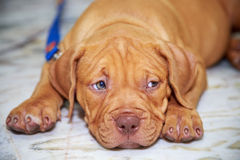 Mirada del pitbull del perro fotografía de archivo