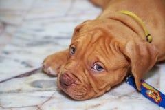 Mirada del pitbull del perro imagenes de archivo