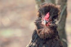 Mirada del pollo de Brown a la cámara fotos de archivo
