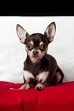 Mirada del retrato de la chihuahua del chocolate en el sofá Imagenes de archivo