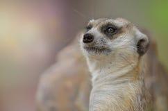 Mirada del retrato del suricatta del Suricata de Meerkat en la cámara Imágenes de archivo libres de regalías