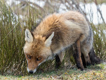 Mirada del zorro rojo (vulpes del Vulpes) Fotos de archivo
