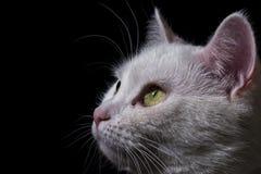 Mirada felina Foto de archivo libre de regalías
