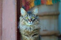 Mirada femenina del gato noruego del bosque fuera de la puerta Fotos de archivo