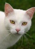 Mirada fija blanca del gato Foto de archivo libre de regalías