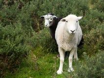 Mirada fija curiosa de dos ovejas en la cámara Foto de archivo libre de regalías