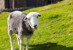 Mirada fija curiosa de las ovejas en la cámara Foto de archivo