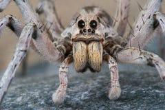 Mirada fija de la araña de lobo Foto de archivo