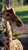 Mirada fija de la jirafa fotografía de archivo