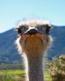 Mirada fija de la muerte de la avestruz Imagenes de archivo