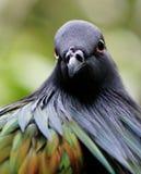 Mirada fija de la paloma de Nicobar Foto de archivo