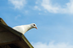Mirada fija de la paloma del blanco Fotos de archivo