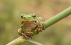 Mirada fija de la rana de árbol Foto de archivo libre de regalías