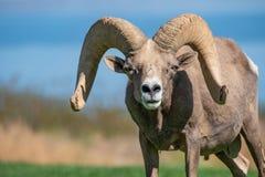 Mirada fija de las ovejas de Bighorn imagen de archivo