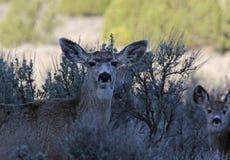 Mirada fija de los ciervos mula Imagen de archivo libre de regalías