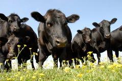 Mirada fija de los ganados vacunos Imagen de archivo libre de regalías