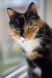 Mirada fija de los ojos del amarillo de la concha del gato Fotos de archivo