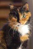 Mirada fija de los ojos del amarillo de la concha del gato linda Fotos de archivo libres de regalías
