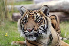 Mirada fija de Sumatran Imagen de archivo libre de regalías