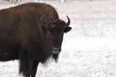Mirada fija del bisonte en la nieve Imagenes de archivo